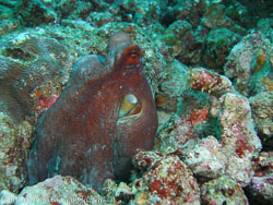 BD-070331-Similan-3310847-Amphioctopus-marginatus-(Iw-Takia-1964)-[Coconut-octopus].jpg